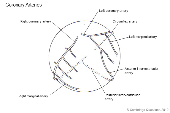 diagram of stomach and heart