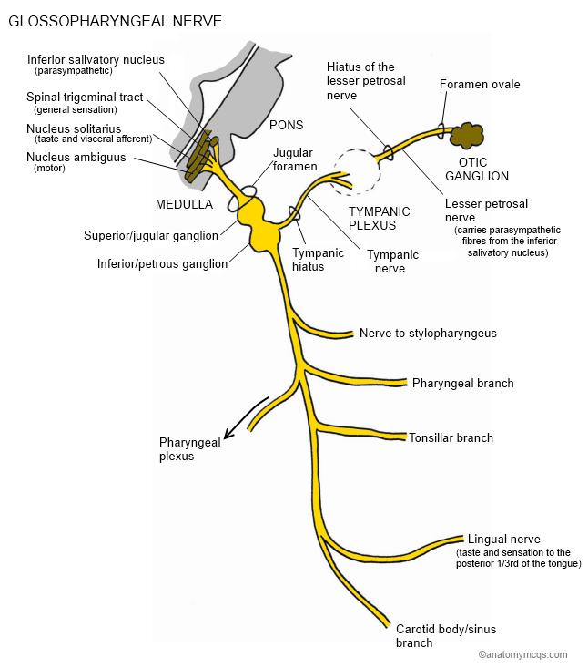 fibular head diagram