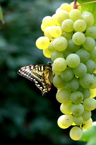 Biancazita della Costa d'Amalfi - Crediti: Tenuta San Francesco