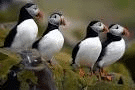 Project Puffin