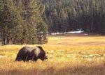 Grizzly Bear Habitat