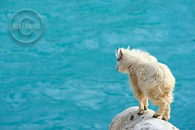 Young mountain goat at Kerkeslin Goat Lick