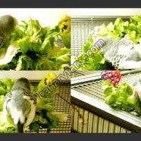 فوائد واهميه الخس للطيور والافراخ