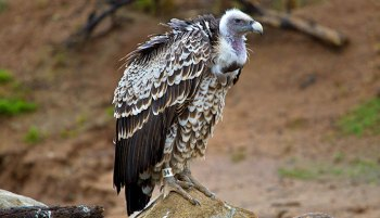 cuddles_the_vulture