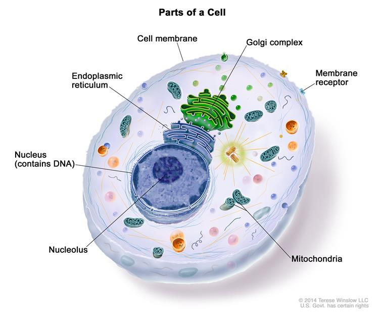 Definition of organelle - NCI Dictionary of Cancer Terms - National