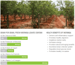 Moringa Oleifera Tree Health Benefits