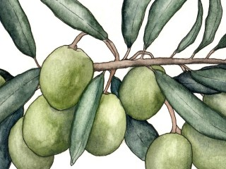 Illustrations for Discovering Olive Oil
