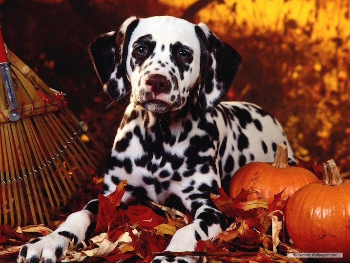Free Fall Wallpaper With Animals Cute Dogs Alert Pics For Some Happy Thanksgiving Cheer