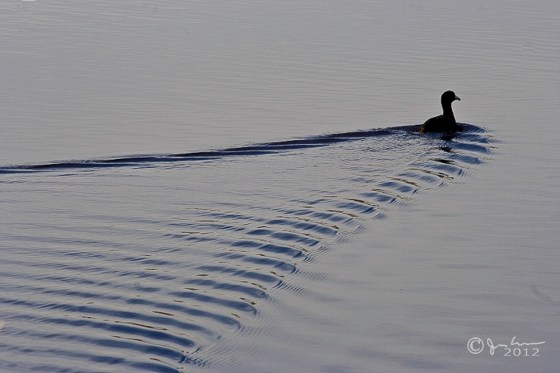 Swimming Duckling