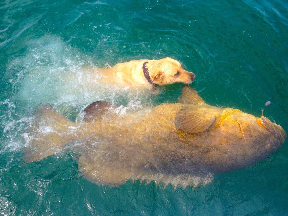 Captiva Fishing Report: Goliath grouper ~ Sanibel, Captiva, North Captiva, #Captiva