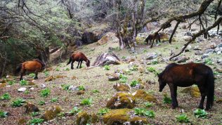 Ponies are a common sight at Manaslu
