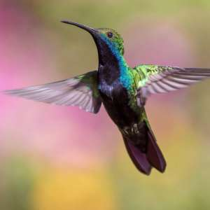 The Career Academy Certificate in Wildlife Management - Colourful flying Hummingbird