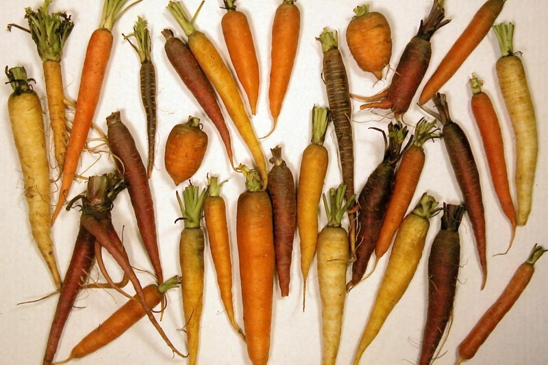 Carrot Cultivation - In Depth Guide To Growing Carrots