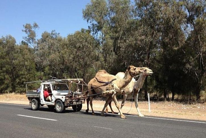 Camels pulling a car along the highway