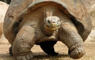 galapagos-gaint-tortoise-9