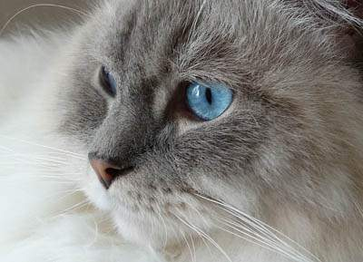 Cute Japanese Cat Wallpaper Cats With Blue Eyes Breeds Amp Info Cat World