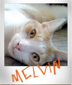 Melvin, the baby, orange and white cat. Very funny.