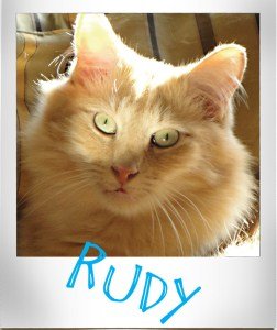 Rudy, a beautiful long haired orange cat. Very loving. Age 5.