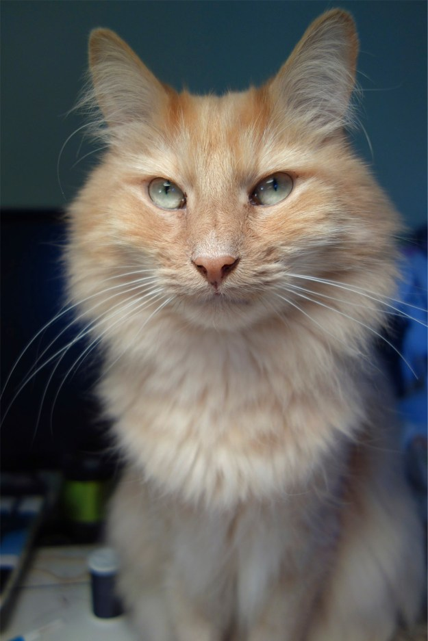 A beautiful long-haired orange cat with a very determined expression.