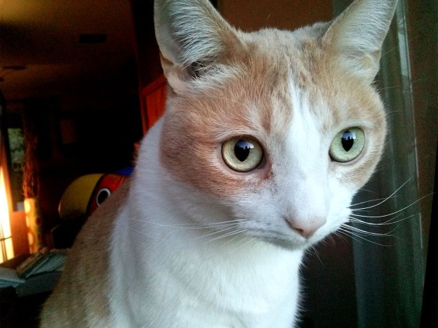Orange and White tabby, Mel, with huge eyes staring out the window.