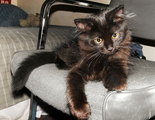 Chantilly Tiffany Cat Info Personality Kittens Diet