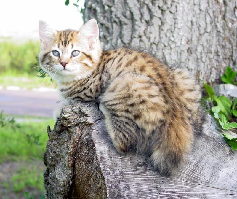 Black Cat Eyes Wallpaper American Bobtail Cat Breed Selector