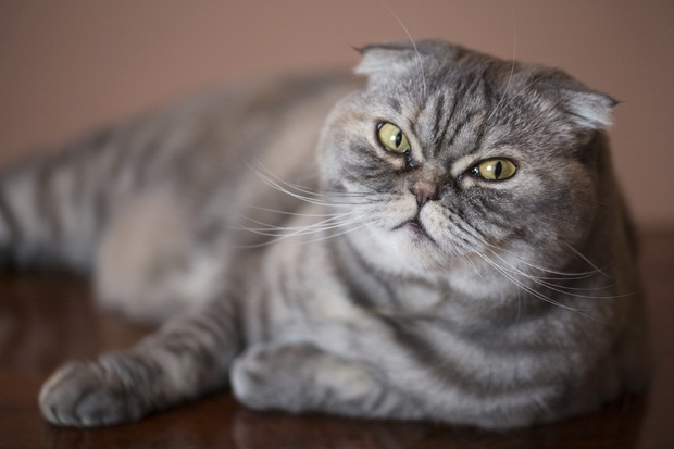 Cute Wallpapers Of Grumpy Cat Scottish Fold Cat Info Personality Kittens Pictures
