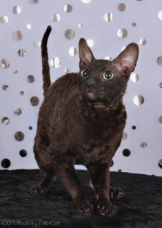Pictures Of Cornish Rex Cats