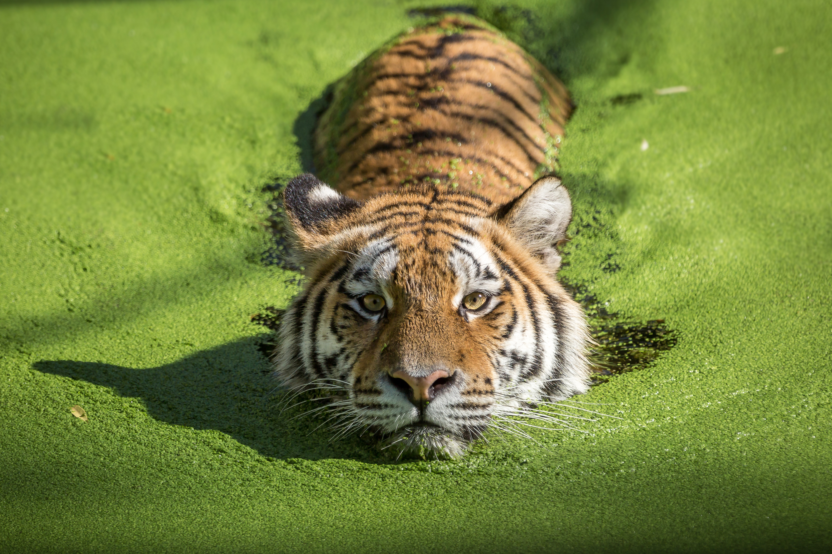 Cute Cubs Wallpaper Tiger Takes A Dip In Algae Covered Water