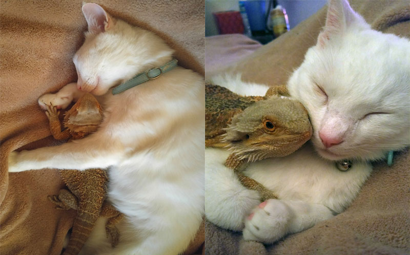 Cute Zootopia Wallpaper Phone Purrr Fect Nap Adorable Video Shows Cat And Baby Lizard