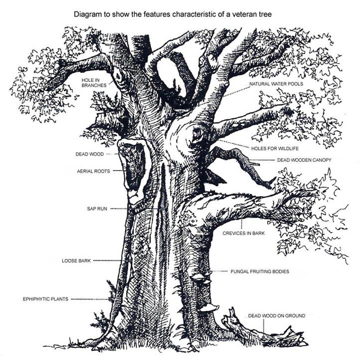 Elm Tree Diagram Wiring Schematic Diagram