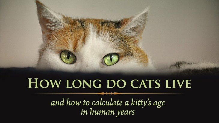 How Long Do Cats Live? And How To Calculate Your Kitty\u0027s Age In