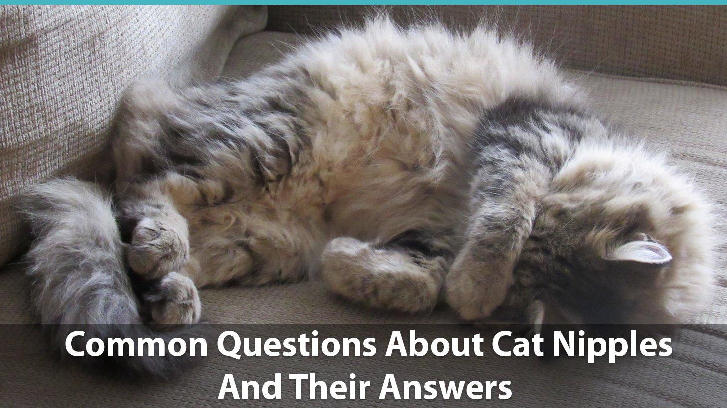 Fullsize Of How Many Nipples Do Cats Have