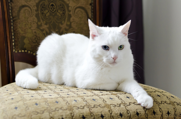 White Cute Cats Wallpapers 6 Cool Facts About Your Cat S Ears Catster