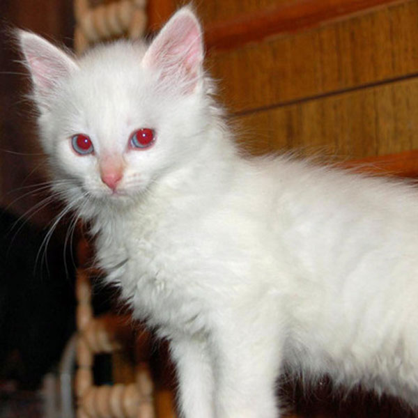 Cute Pinkish Wallpapers The Difference Between An Albino Cat And A White Cat Catster