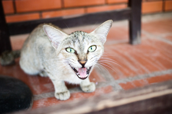 Cat Panting Why Do Cats Pant And What To Do About Cats