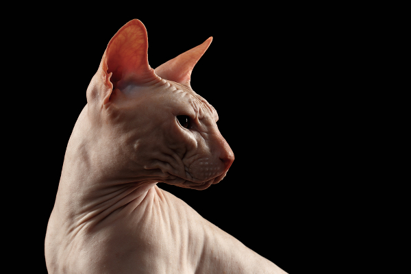 Halloween Black Cat Wallpaper Sphynx Cats 5 Things To Know About Living With Hairless