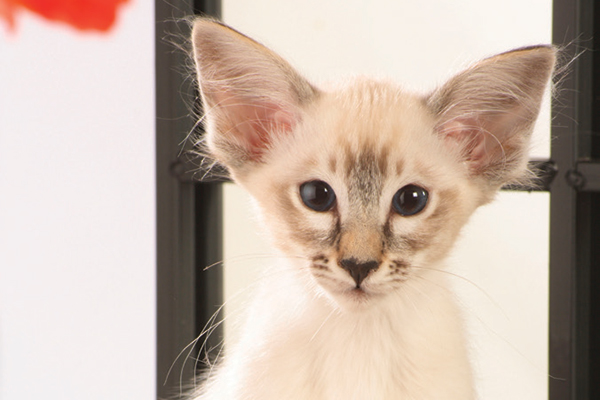 All About the Balinese Cat Breed - Catster