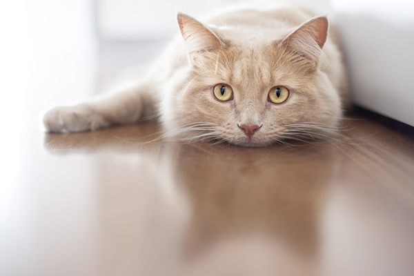 Cat Depression Signs Causes And How To Treat It Catster
