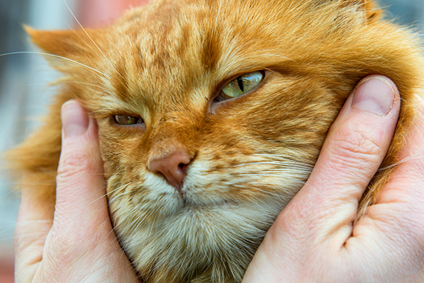 How Long Do Cats Live? Facts About the Average Cat Lifespan - Catster