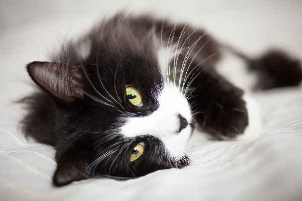10 Facts About Tuxedo Cats - Catster