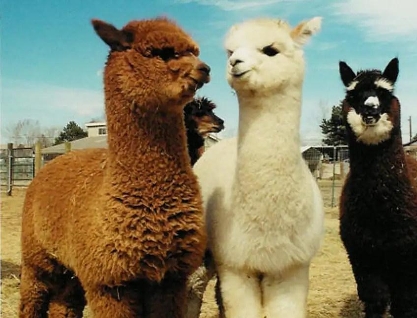 Very Cute Babies Desktop Wallpapers Fun Facts About Cute Animals Alpaca Edition Explore