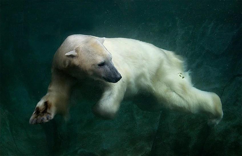 Fun Facts About Cute Animals Polar Bear Edition