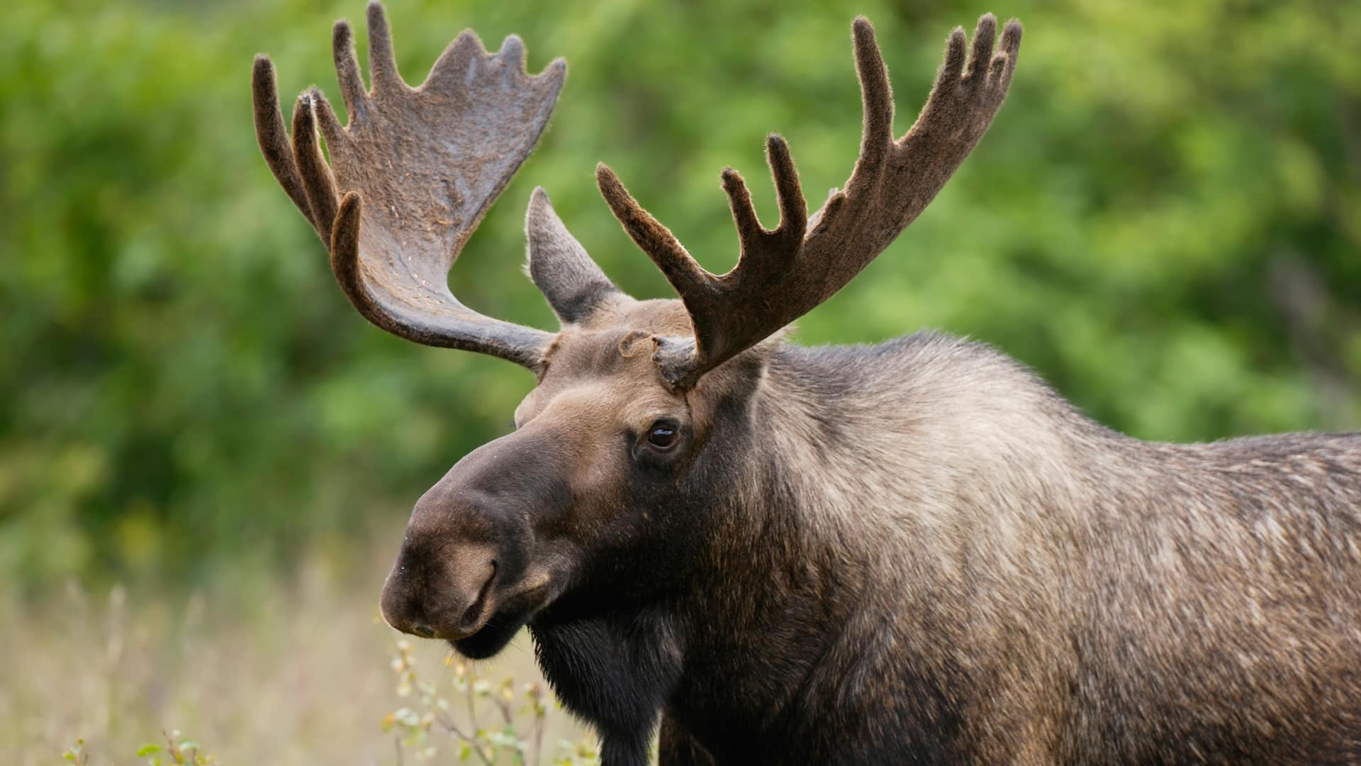 Image For Moose Hunt Newfoundland Canada You