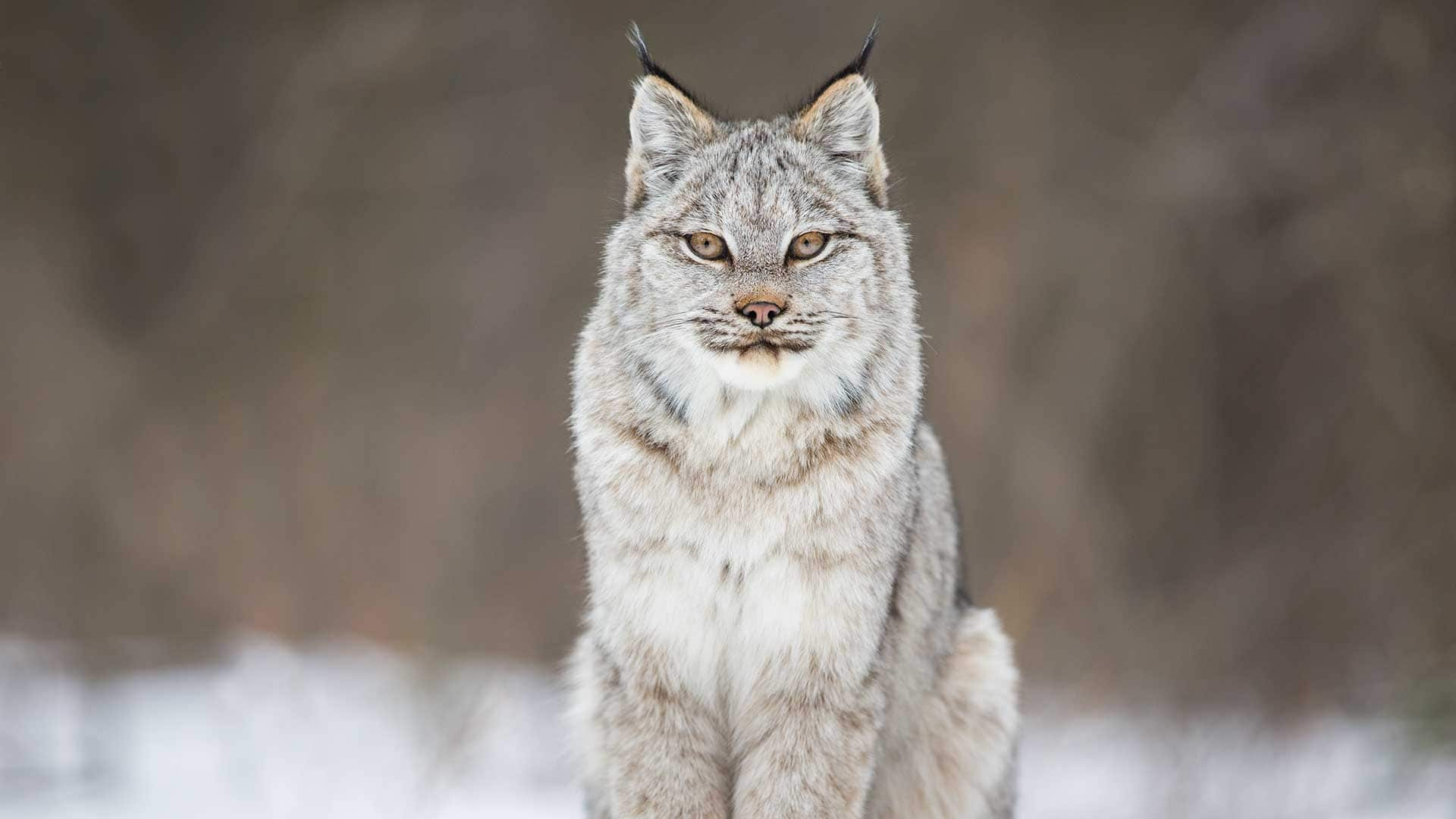 Fall Be Kind Wallpaper A Wild Canadian Lynx And A Cameraman Develop An Amazing