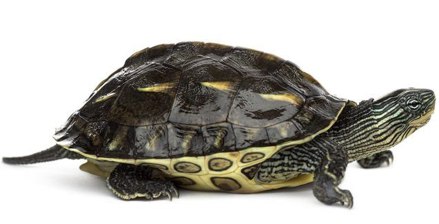 Chinese Golden Thread Turtles For Sale Online Baby Chinese