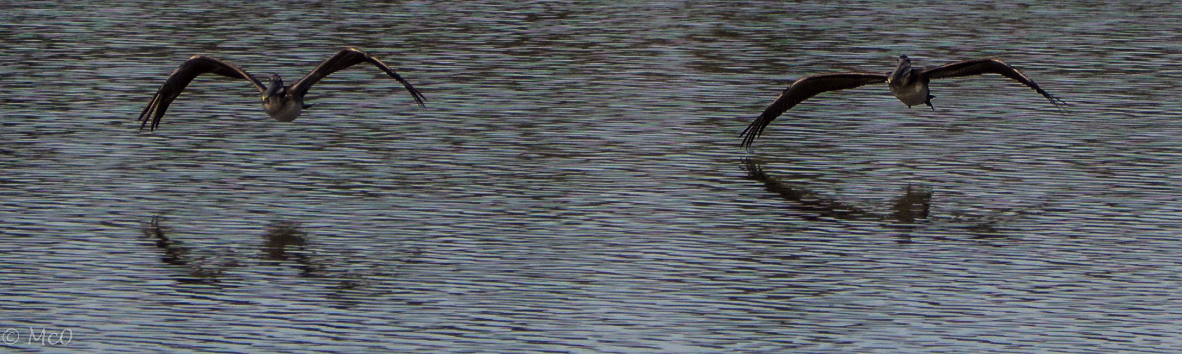 banner-pelicans