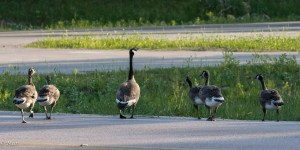 Family of Geese crossing the road