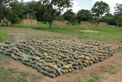 Pineapples waiting for the truck