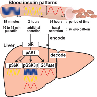 In Vivo Decoding Mechanisms of the Temporal Patterns of Blood